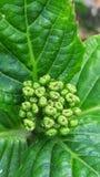 En unsprouted grön växt Arkivbilder