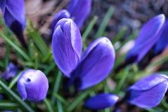 En uppsättning av purpurfärgad krokus som väntar på solen royaltyfria bilder