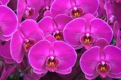 En uppsättning av purpurfärgade orkidér Arkivbilder