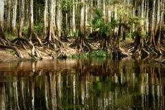 En ursprunglig ställning av infödda träd för den skalliga cypressen reflekterar i stien royaltyfria bilder