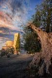 En utöver det vanliga Olive Tree som pekar himlen ovanför kyrkan Arkivfoton