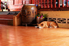 En uttråkad hund, slut upp hörntand på trägolvet av husbakgrunden Royaltyfri Fotografi