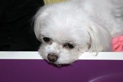 En uttråkad liten vit hund i en enhet, maltese valp för tekopp arkivfoto