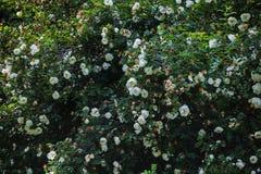 En vägg av roseshipen med vita blommor Royaltyfri Foto