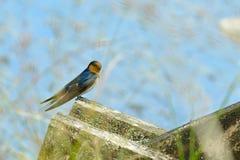 En välkommen neoxena för svalafågelHirundo i den naturliga miljön som sitter på konstruktionsbeståndsdelarna på en liten bro arkivfoton