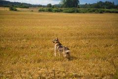 En vänlig varg som jakthunden som tycker om fri tid i fältet Royaltyfri Foto