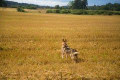 En vänlig varg som jakthunden som tycker om fri tid i fältet Arkivfoton