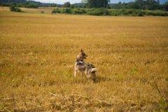 En vänlig varg som jakthunden som tycker om fri tid i fältet Arkivfoto