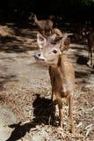 En väntande på mat för unga Bawean hjortar arkivfoton
