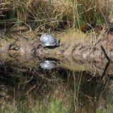 En värma sig sköldpadda vid dammet Arkivfoton