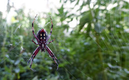 En västra prickig Orbweaver spindel, Neoscona oaxacensis Arkivfoton