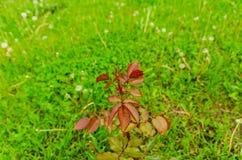 En växt av en röd ros utan blommor Arkivfoto