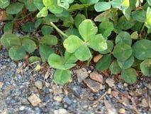 En växt av släktet Trifolium för fyra blad står ut i grupp på kanten av stentrottoar Royaltyfria Foton