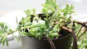 En växt får bevattnad stock video
