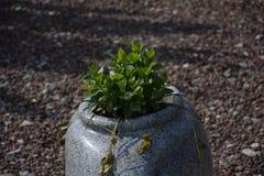 En växt i en fantastisk kruka Arkivfoto