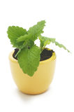 En växt i gul keramisk kopp. Royaltyfri Bild