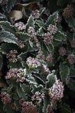 En växt med röda fullständigt djupfrysta bär royaltyfri fotografi