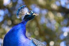 En våldsam påfågel Arkivbild