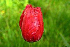 En våt röd tulpan Arkivfoton