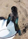 En våt skata- eller picapica gör ren hans fjäderdräkt arkivbilder