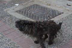 En våt stående trottoar för liten hund arkivfoton
