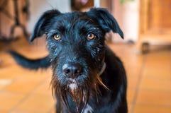 En våt svart hund Royaltyfria Bilder
