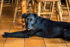 En våt svart hund Arkivfoton