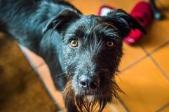 En våt svart hund Fotografering för Bildbyråer