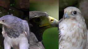 3 en 1 Vídeo vertical para los medios usos sociales en los dispositivos móviles Diversos retratos de Eagles y de los halcones almacen de metraje de vídeo