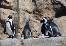 En vagga av afrikanska pingvin Arkivbilder