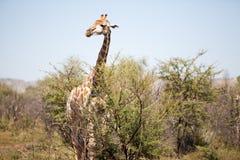 En vaken giraff i bushvelden Fotografering för Bildbyråer