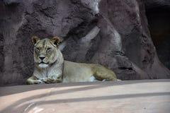 En vaken lejoninna fotografering för bildbyråer