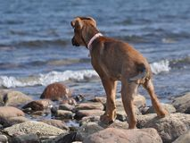 En valp vid stranden Royaltyfri Fotografi