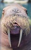En valross, closeup Arkivbilder