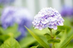 En vanlig hortensiablomma är en dikt royaltyfri foto