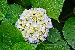 En vanlig hortensiablomning i morgon Royaltyfria Foton