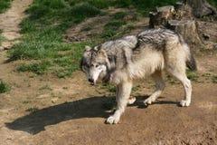 En varg bor i en zoo i Frankrike Royaltyfria Bilder