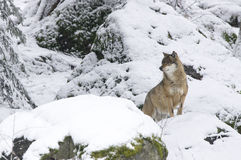 En varg i den bohemiska skogen Fotografering för Bildbyråer