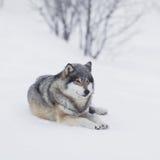 En varg som vilar i snön Arkivbild