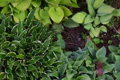 En variation av gröna Hostas Arkivbild