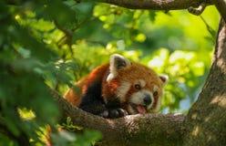 En varm och besvärad röd panda med dess tunga ut Arkivbild