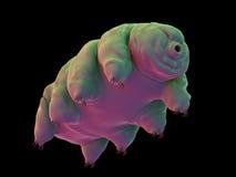 en vattenbjörn royaltyfri illustrationer