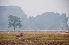 En vattenbuffel i ett vietnamesiskt fält arkivfoto