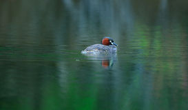 En vattenfågel på dammet i vår Arkivbilder