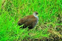 En vattenfågel på grässtranden Royaltyfria Bilder