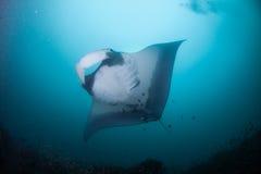 En över huvudet behagfull simning för mantastråle Royaltyfri Foto