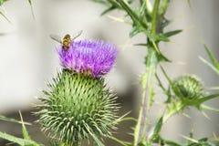 En verano, una flor brillante en el campo es una flor de la bardana Imagenes de archivo