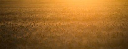 En veteåker i strålarna av inställningssolen Arkivfoto