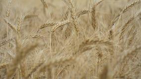 En vete?ker Många öron av vete som svänger i en ljus bris i det jordbruks- fältet stock video