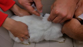 En veterinär injicerar en vit kanin med en vaccin mot en sjukdom lager videofilmer